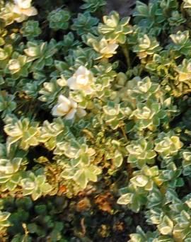 Blaukissen, lavendelblau, Aubrieta Hybride 'Silberrand' - Bild vergrößern