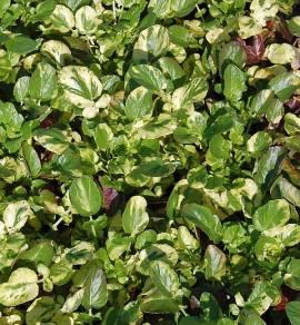 Barbarea vulgaris 'Variegata', Barbarakraut, Winterkresse - Bild vergrößern