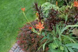 Belamcanda chinensis, Leopardenblume - Bild vergrößern