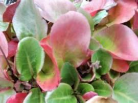 Bergenia Hybride 'Eroica' Bergenie - Bild vergrößern