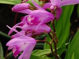 Bletilla striata, China Freiland- Orchidee - Bild vergrößern