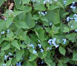 Brunnera macrophylla Kaukasusvergißmeinnicht - Bild vergrößern