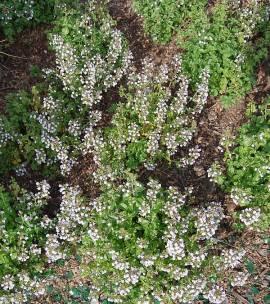 Calamintha nepeta ssp nepeta (Triumphator), Steinquendel, kleinblütige Bergminze - Bild vergrößern