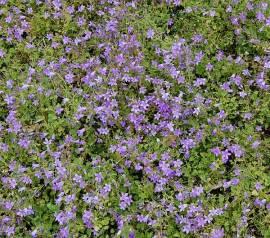 Campanula portenschlagiana 'Birch' Dalmatiner Glockenblume - Bild vergrößern