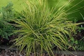 Carex elata 'Aurea' (Bowles Golden), Steife Segge - Bild vergrößern