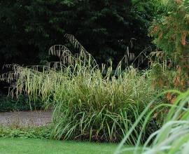 Carex pendula, Riesensegge - Bild vergrößern