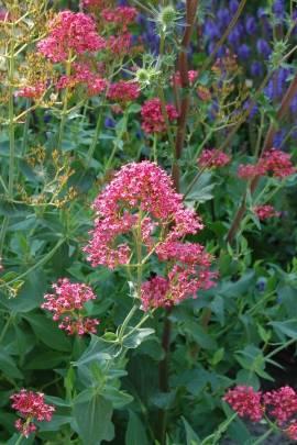 Centranthus ruber 'Coccineus' Spornblume - Bild vergrößern