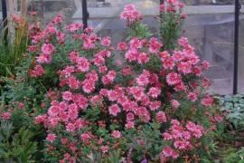 Chrysanthemum Indicum-Hybriden 'Toscana', Winteraster - Bild vergrößern