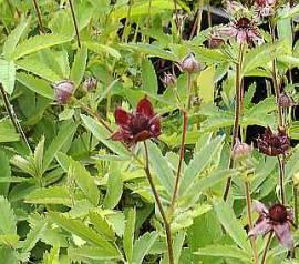 Comarum palustris, Sumpf - Blutauge - Bild vergrößern
