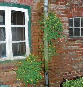 Corydalis lutea, Lerchensporn, Pseudofumaria lutea - Bild vergrößern