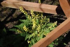 Corydalis cheilanthifolia, Farn- Lerchensporn - Bild vergrößern