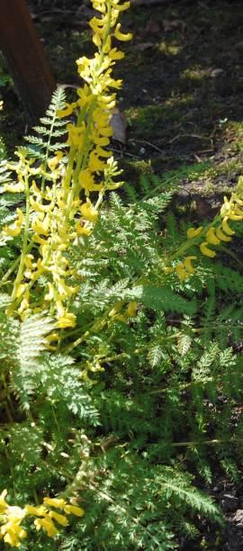 Farn-Lerchensporn, Corydalis cheilanthifolia - Bild vergrößern