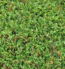 Cotula squalida  Fiederpolster  (Leptinella) - Bild vergrößern