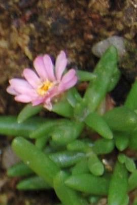 Delosperma 'Beaufort West', Mittagsblume - Bild vergrößern
