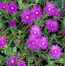 Delosperma cooperi, Mittagsblume - Bild vergrößern