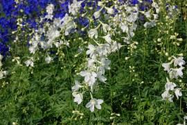 Delphinium Belladonna-Hybride 'Casa Blanca',Rittersporn, reinweiß - Bild vergrößern