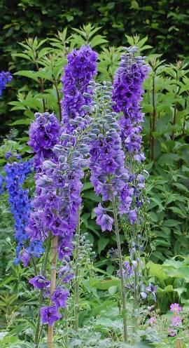 Delphinium elatum 'Abendleuchten' Rittersporn hellblau - Bild vergrößern