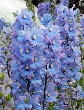 Delphinium elatum 'Augenweide' Rittersporn hellblau - Bild vergrößern
