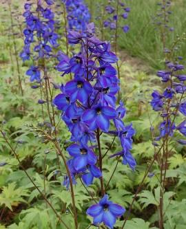 Rittersporn dunkelblau, Delphinium elatum 'Finsteraarhorn' - Bild vergrößern