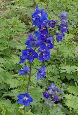 Rittersporn enzianblau, Delphinium elatum 'Lanzenträger' - Bild vergrößern