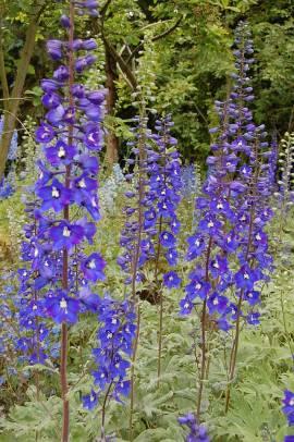Rittersporn violettblau, Delphinium elatum 'Schildknappe' - Bild vergrößern