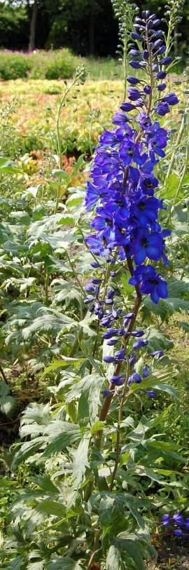 Delphinium elatum 'Sommernachtstraum' Rittersporn dunkelviolettblau - Bild vergrößern