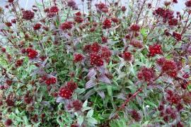 Dianthus barbatus 'Sooty', Bartnelke, Schokoladennelke - Bild vergrößern