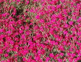 Dianthus deltoides 'Brilliant' Heidenelke - Bild vergrößern