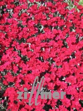 Dianthus Gratianopolitanus - Hybriden 'Rubin', Pfingstnelke - Bild vergrößern