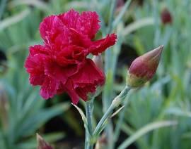 Federnelke, Dianthus plumarius - Hybriden 'Heidi' - Bild vergrößern
