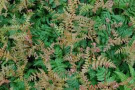 Dryopteris erythrosora Rotschleierfarn - Bild vergrößern