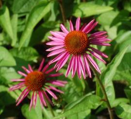 Echinacea purpurea 'Pica Bella'®, Sonnenhut - Bild vergrößern