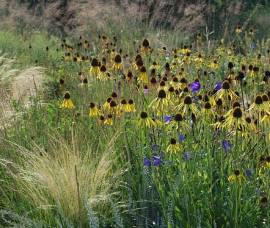Echinacea paradoxa Sonnenhut - Bild vergrößern