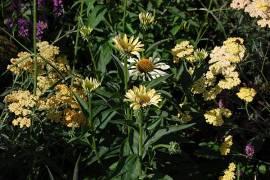 Echinacea purpurea 'Sunrise' ®, Sonnenhut - Bild vergrößern
