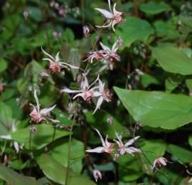 Epimedium Hybride 'Pink Elf', Elfenblume - Bild vergrößern