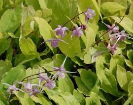Epimedium grandiflorum 'Violaceum'  Elfenblume - Bild vergrößern