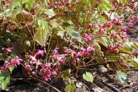 Epimedium x rubrum  Elfenblume - Bild vergrößern