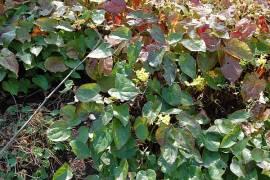 Elfenblume, Epimedium x perralchicum 'Frohnleiten' - Bild vergrößern