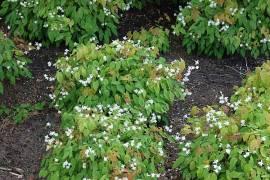 Epimedium x youngianum 'Niveum'  Elfenblume - Bild vergrößern