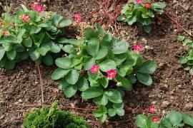 Fragaria ananassa 'Rubra', Walderdbeere - Bild vergrößern