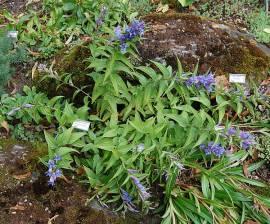 Gentiana asclepiadea  Schwalbenwurzenzian blau - Bild vergrößern