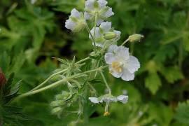Geranium phaeum 'Album', Storchschnabel, weiß - Bild vergrößern