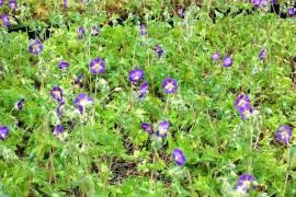 Geranium phaeum 'Lilly Lovell', Storchschnabel, lila - Bild vergrößern