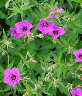 Geranium Psilostemon Hybriden 'Patricia' Storchschnabel - Bild vergrößern