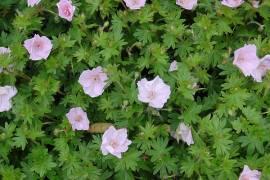 Geranium sanguineum 'Apfelblüte' , Blutstorchschnabel - Bild vergrößern