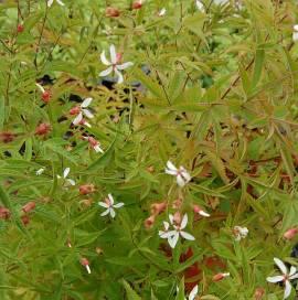 Dreiblattspiere, Gillenia stipulata - Bild vergrößern