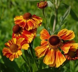 Helenium Hybride 'Flammenrad', Sonnenbraut - Bild vergrößern