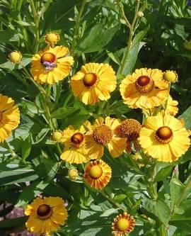 Helenium Hybride 'Goldrausch', Sonnenbraut - Bild vergrößern