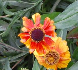 Helenium Hybride 'Sahin's Early Flowerer', Sonnenbraut - Bild vergrößern