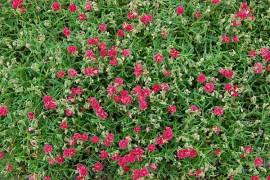 Helianthemum Hybride 'Cerise Queen', Sonnenröschen - Bild vergrößern